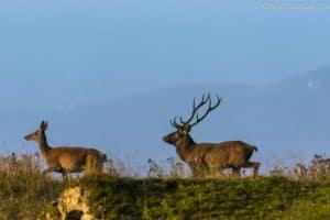 Bramito del Cervo: Cansiglio, Veneto